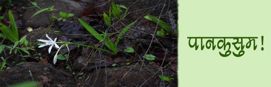 पावसाळ्यात उमलणार पाहिलं फूल - पान कुसुम